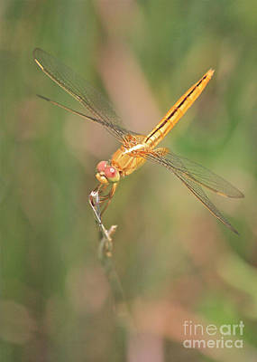 Golden Dragonfly In Green Marsh Poster