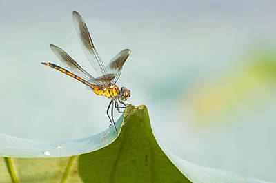 Golden Dragonfly On Water Lily Leaf Poster by Bonnie Barry