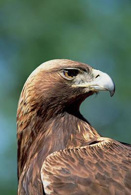Golden Eagle Aquila Chrysaetos Poster by Konrad Wothe
