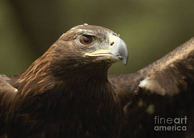 Poster featuring the photograph Golden Eagle by Doug Herr