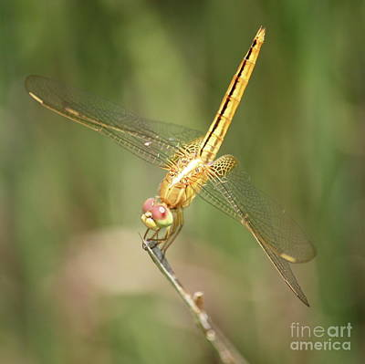 Golden Glow In The Marsh Poster by Carol Groenen