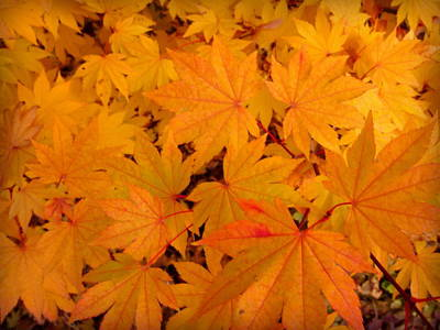 Golden Leaves Of Maple Poster by Cindy Wright