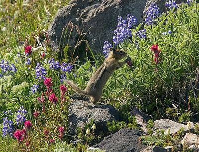 Golden-mantled Ground Squirrel Feeding Poster by Bob Gibbons