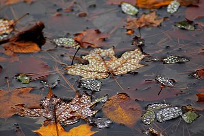 Golden Maple Dew Drops Poster by LeeAnn McLaneGoetz McLaneGoetzStudioLLCcom