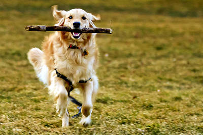 Golden Retreiver With Stick Poster by Stephen O'Byrne