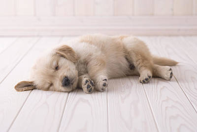 Golden Retriever Sleeping On Floor Poster by Mixa