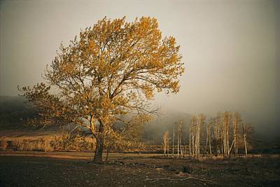 Golden Sunlit Tree With Mist, Yakima Poster by Sisse Brimberg