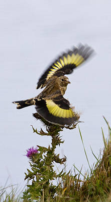 Goldfinch On Thistle Poster