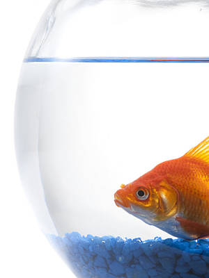 Goldfish In Bowl On White Background Poster by Rubberball