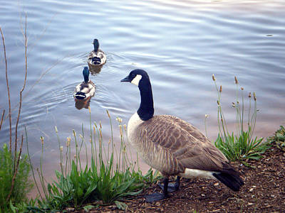 Poster featuring the photograph Goose And Ducks by Kelly Hazel
