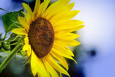 Graceful Sunflower Poster by Trudy Wilkerson