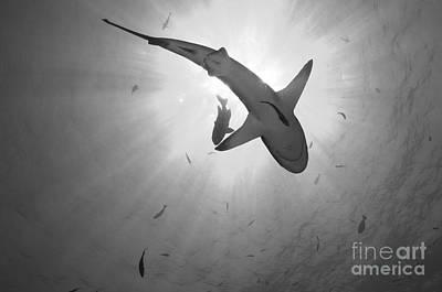 Gray Reef Shark, Kimbe Bay, Papua New Poster