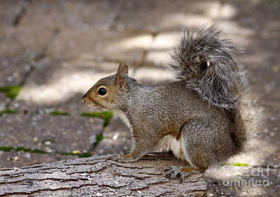 Poster featuring the photograph Gray Squirrel by Denise Pohl