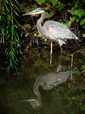 Great Blue Heron 1 Poster