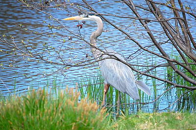 Great Blue Heron At Pond's Edge Poster by Mary McAvoy