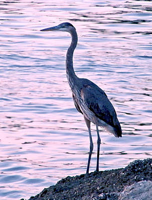 Poster featuring the photograph Great Blue Heron by Brian Wright