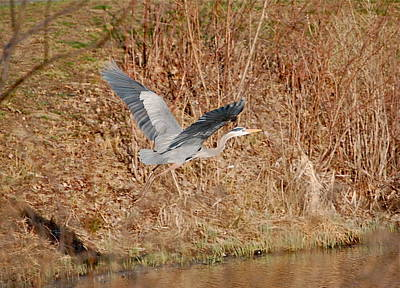 Great Blue Heron In Flight Poster by Mary McAvoy
