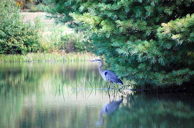 Great Blue Heron In Pines Poster by Mary McAvoy