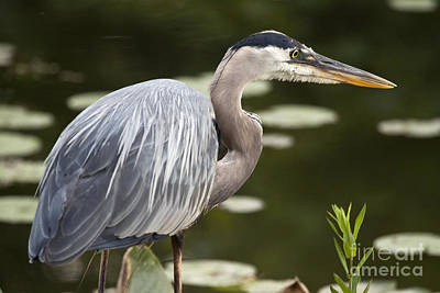 Great Blue Heron  Poster by Jeannette Hunt