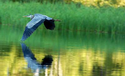 Great Blue Heron On Golden Pond Poster