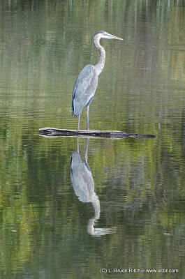 Great Blue Heron On Lake Chipican Poster by Bruce Ritchie