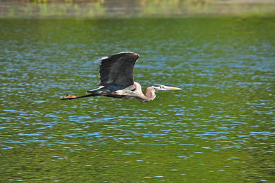 Great Blue Heron Reaching Cruise Altitude Poster by Mary McAvoy