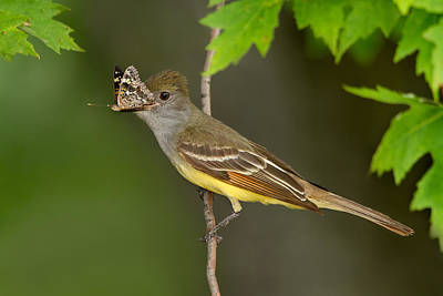 Great-crested Flycatcher Butterfly Breakfast Poster by Daniel Cadieux