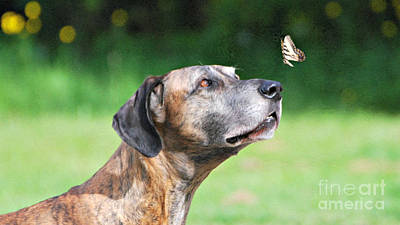 Great Dane Rufus Dagoofus With Butterfly Poster by Lila Fisher-Wenzel