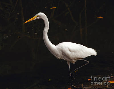 Great Egret Hunting Poster by Art Whitton