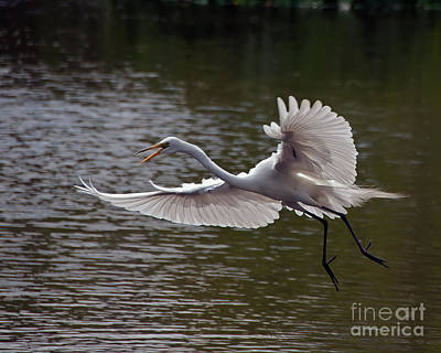 Great Egret In Flight Poster by Art Whitton