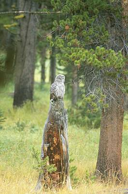 Great Gray Owl On Tree Stump Poster