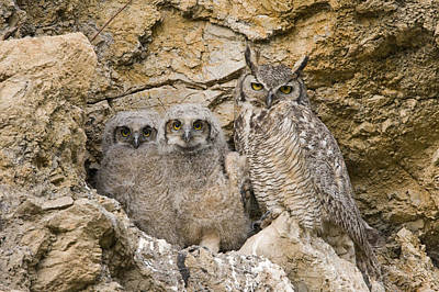 Great Horned Owl With Owlets In Nest Poster by Sebastian Kennerknecht