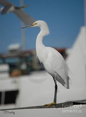 Great White Egret 2 Poster