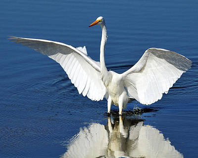 Great White Egret Spreading Its Wings Poster