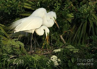 Great White Egrets Nesting Poster