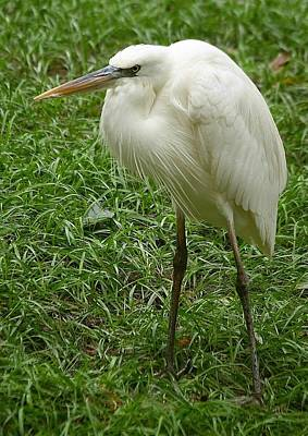 Poster featuring the photograph Great White Heron by Myrna Bradshaw