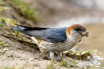 Greater Striped Swallow Poster by Peter Chadwick