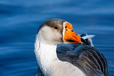Greater White Frontal-goose Striking A Pose Poster by Ann Murphy