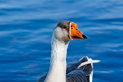 Greater White-fronted Goose Looking For A Mate Poster