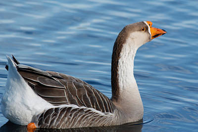 Greater White-fronted Goose Paddling Away Poster by Ann Murphy