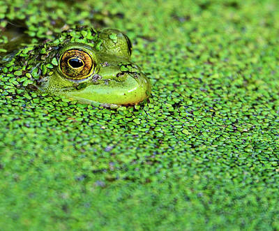 Green Bullfrog In Pond Poster