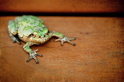 Green Frog With Gold Rimmed Black Eyes Poster by R. Nelson
