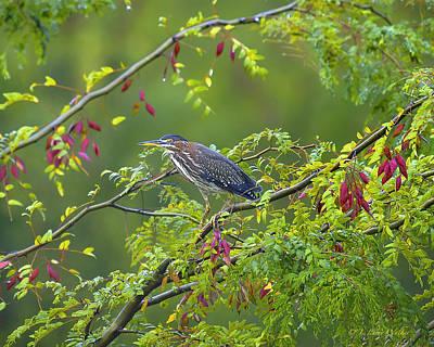 Green Heron Deep In The Swamp Poster by J Larry Walker