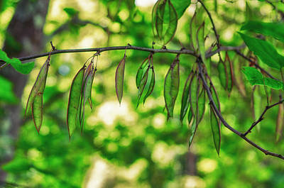 Green Redbud Seed Pods Poster