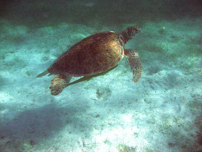 Poster featuring the photograph Green Sea Turtle by David Wohlfeil