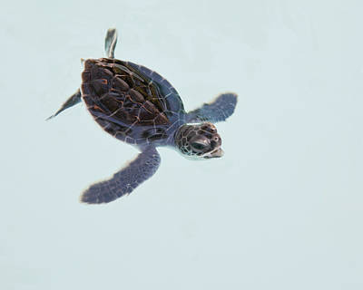 Green Sea Turtle Hatchling Poster by Trina Loucks