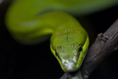 Green Snake Poster by Zoe Ferrie