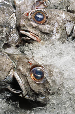 Grenadier Fish Packed In Ice After Being Caught Poster by Sinclair Stammers