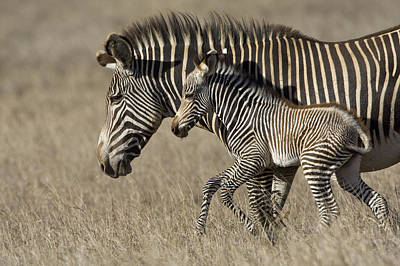 Grevys Zebra And Foal Lewa Wildlife Poster