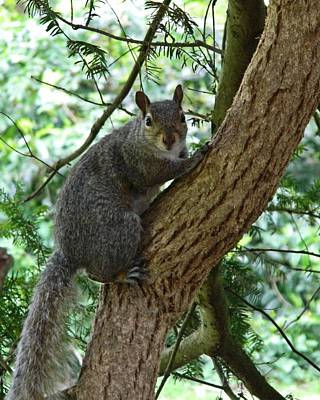 Grey Squirrel Poster by Sharon Lisa Clarke